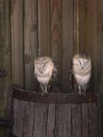 Barn Owls by screamingmechanical