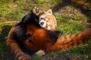 Red Panda Cuddle by spike83