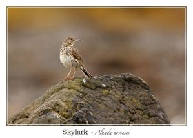 Skylark by noelholland