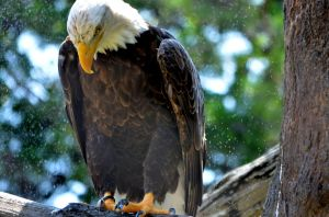Bald Eagle by tarabearatm