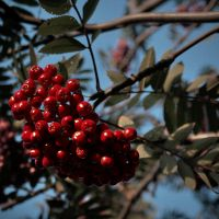 Autumn. Ashberry. by ch-redblooded