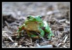 Yes, another green tree frog by SuperSal001