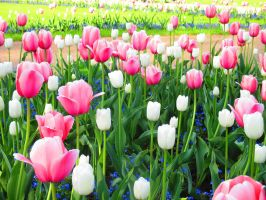 Tulips by Sanetta