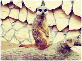 Suricate by SisterOfNight87