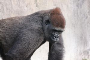 00229 - Thoughtful Gorilla by emstock