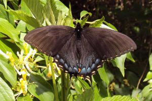 tiger swallowtail butterfly by LexyLou16