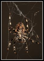 Araneus - what a mess by MrMeik