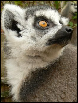 Ring-tailed Lemur by Jeronimous