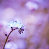 forget me not flower by joanneanne