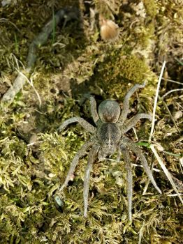 wolf spider by Dracornasus