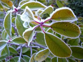 Frosted plant by Kaliceos