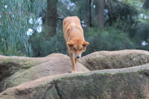 Dingoes rock! by BitingShadow