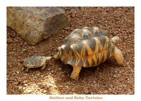 Mother and Baby Tortoise by deepestwonder