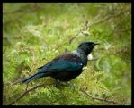 Tui on Green by Feuillyien