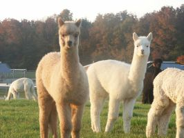 + And Another Little Llama + by NerinSerene