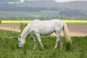 Horse Collection: White 7 by Germanstock
