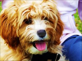 Jaffa the Labradoodle by kahlanei