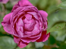 Heavenly Scented Pink Rose by zootnik