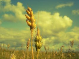 wheat 9 by 785785