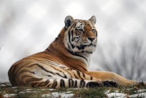 Amur Tiger 12 by 8TwilightAngel8
