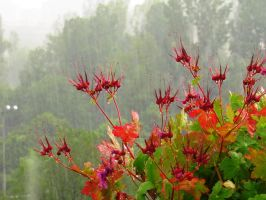 Geranium In The Rain by Aivaseda