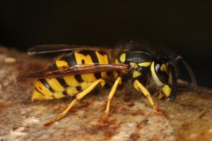 common wasp feedin by macrojunkie