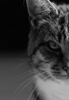 cat 13 by sisselPhotography
