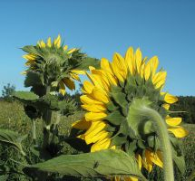 Sunflowers by JocelyneR