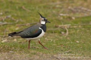 Lapwing Wandering by Shadow-and-Flame-86