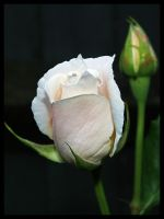 White Rose Bud by DeadlyDonna
