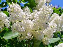 white lilac by scarlette13