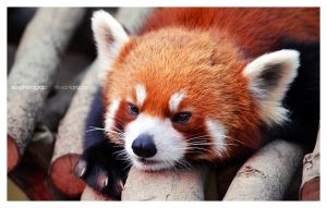 Red Panda: i'm bored..3 by no-photography