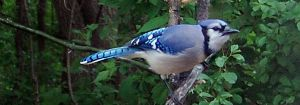 Better Luck Bluejay by richardcgreen