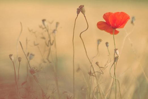 Coquelicot by Somebody--else