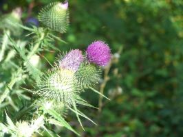 Thistle by Squidfuchuan