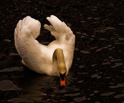 swan by rockmylife