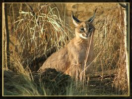 squint-eyed caracal by Draghonia
