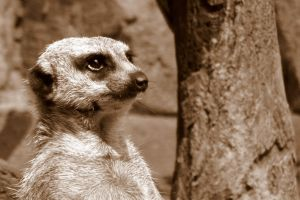 Lookout (Sepia Meercat) by elphabaevitaeponine