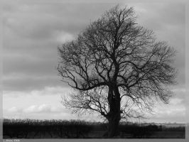 Lonely Oak by Stumm47