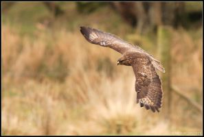 Gigrin Farm - Buzzard I by nitsch