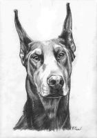 doberman 2 by markopajnic