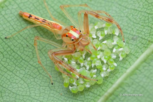 Wide-jawed Viciria Jumping spider with eggs by melvynyeo