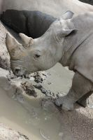 White Rhino by Dellessanna