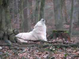 artic wolf howling by Nashoba67