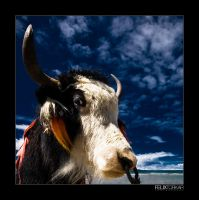 A Yak And Some Blue Sky by FelixTo