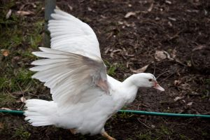 White Duck Stock 4 by CNStock