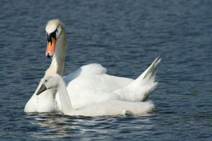 Swans: Father and Son by Tarquinia