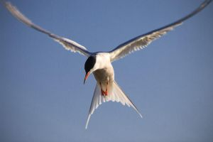 Common Tern by sampok