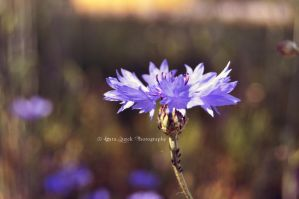 Centaurea at dawn by Arlyin