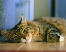 Maine Coon by JMCS